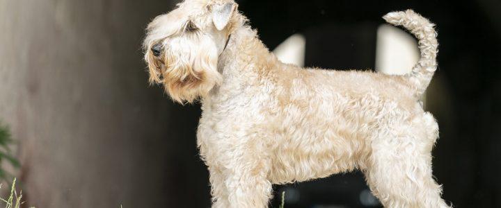 Hippi irish sof coated wheaten terrier
